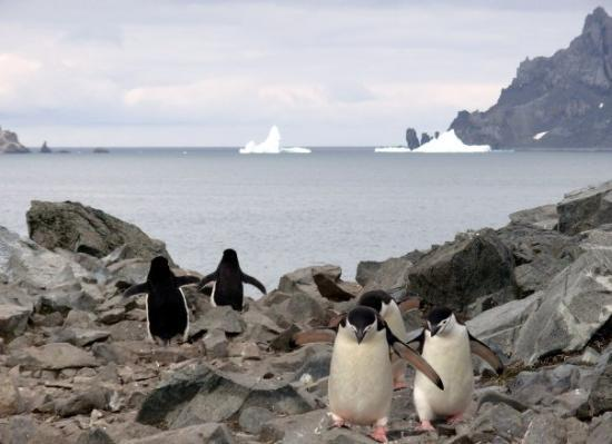 "Deception Island: The constant coming and going of ""waddling"" Adelie penguins in search for food."