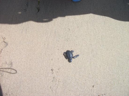 Noblesville, IN: Baby Sea Turtle at Playa Penitas