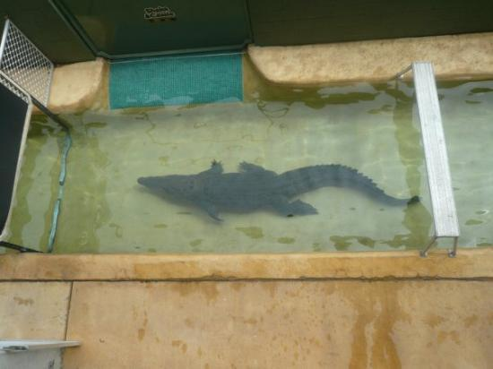 Australia Zoo: Huge Crocodile