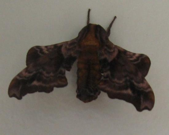 "Garden City, UT: this is the weirdest moth that i've ever seen, it ""hung"" out on the bathroom door at the campgro"