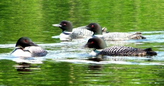 Aitkin, MN: Common Loons on LK4
