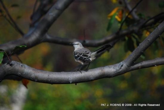 Kansas City, MO: Mockingbird in Kauffman's Garden