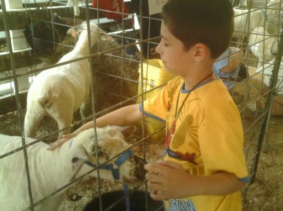 Saint James, MO: austin had a baaaaaaall with the sheep.