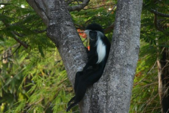 ‪‪Flamboyant‬: Colobus in the Flamboyant tree‬