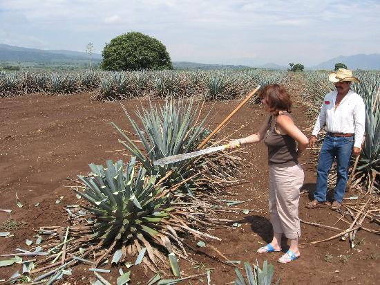 "La Rojena : Trying to do the ""jima"" of the agave"