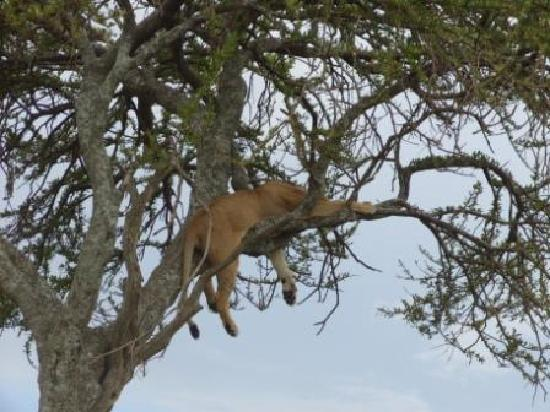 Mara Simba Lodge: A lion in a tree!