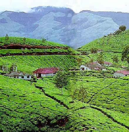 Munnar, India: tea estate
