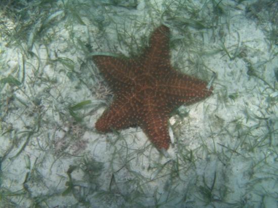 Akumal, Mexico: Nice starfish