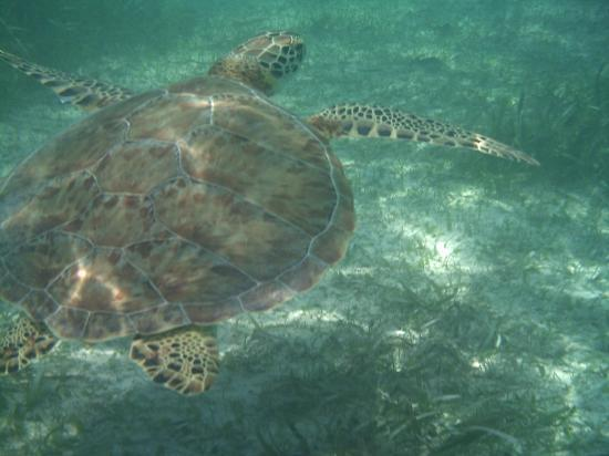 Akumal, Mexico: another turtle