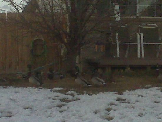 Westminster, CO: My sister's duck friends