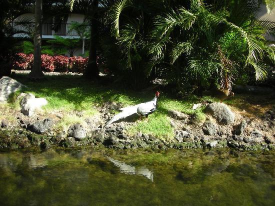 Hilton Waikoloa Village: A Hilton resident