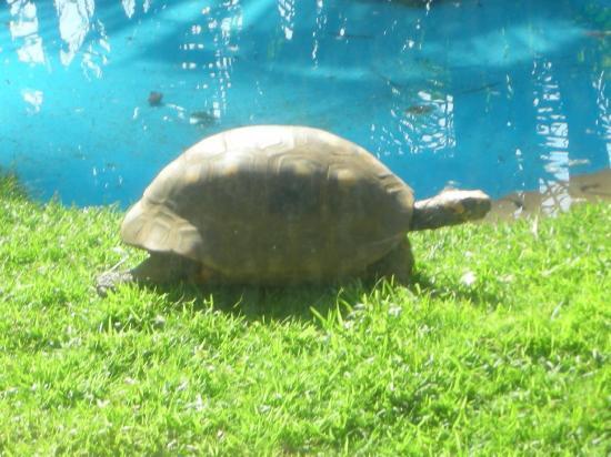Hilton Waikoloa Village: tortoise