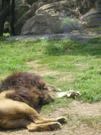 -The Lion Sleeps- Houston Zoo  Houston, TX Photo by Stephen Spriggs