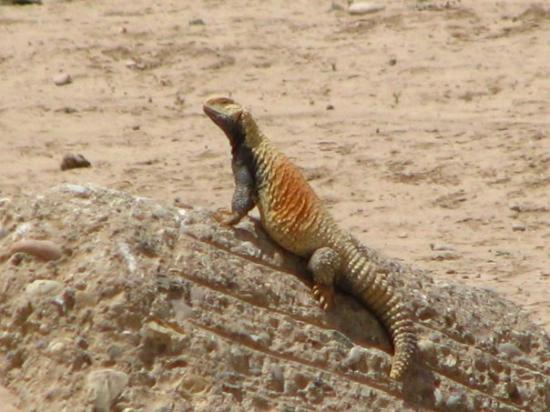 Erbil, Irak: Another big lizard