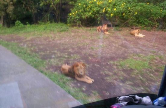 Malang, Indonesia: cute lions