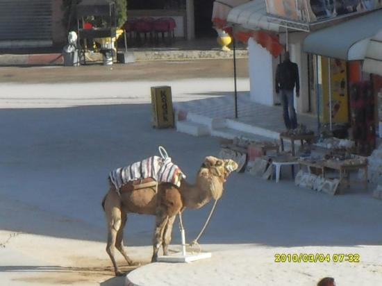 El Jem Amphitheatre: Lonely camel looking for passengers