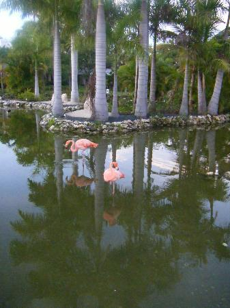 Meliá Caribe Tropical: Flamingo's in the Hotel Grounds