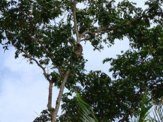 Cahuita, Costa Rica: peresoso de tres dedos..