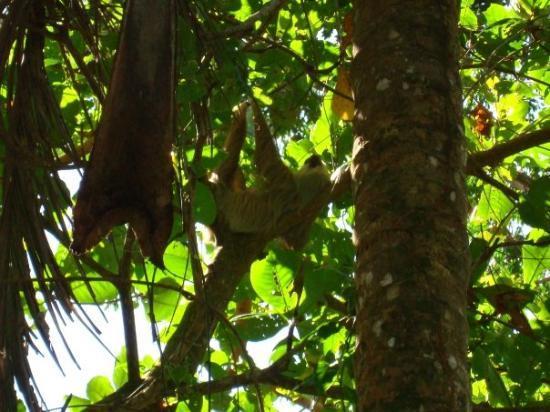 Cahuita, Costa Rica: Peresoso