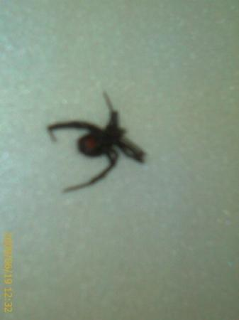 Paris, TN: Yes, that's another Black Widow.