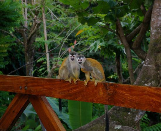 Tulemar Bungalows & Villas: Squirrel Monkeys on the deck at Villa Mot Mot