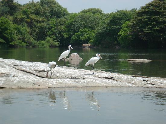 Ranganathittu Bird Sanctuary: Can you spot the Crocodile