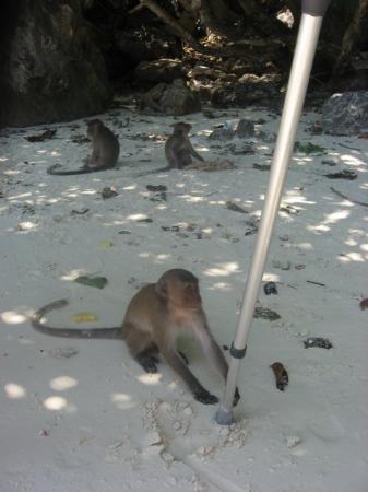 Ko Phi Phi Don, Thailand: en apa försöker ta tommys krycka