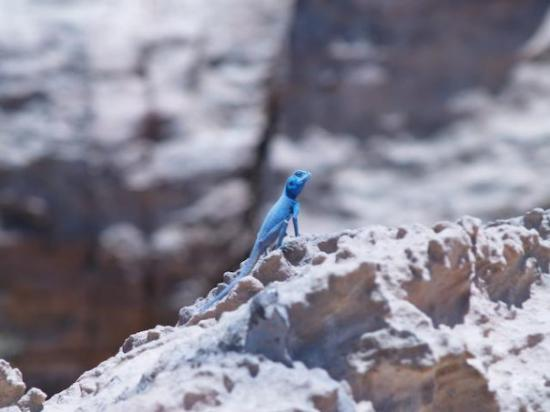 Petra / Wadi Musa, Jordan: Bright blue Geiko.