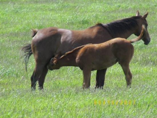 Kalispell, MT: Thirsty foal.