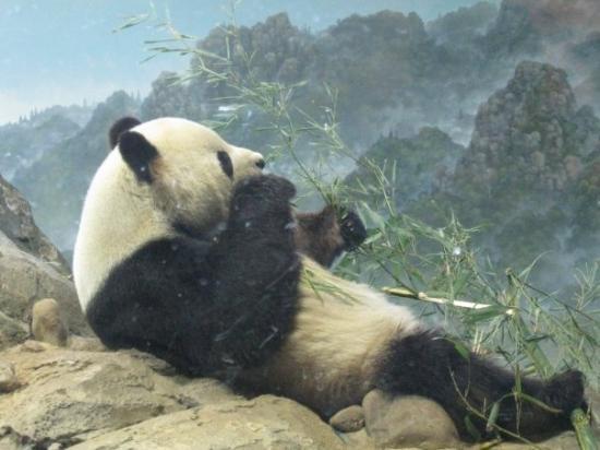 National Zoological Park: Panda eating bamboo.