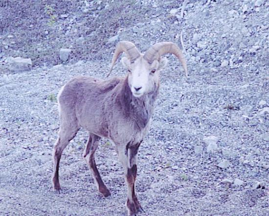 Healy, AK: Stone's Mountain Sheep