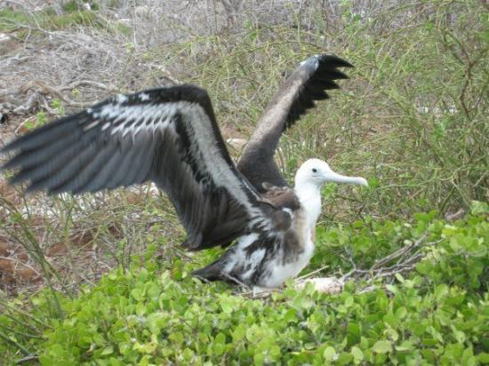 Puerto Ayora, Ecuador: Albatros