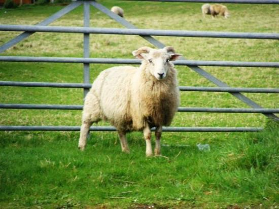Great Cumbrae, UK: The lonely sheep