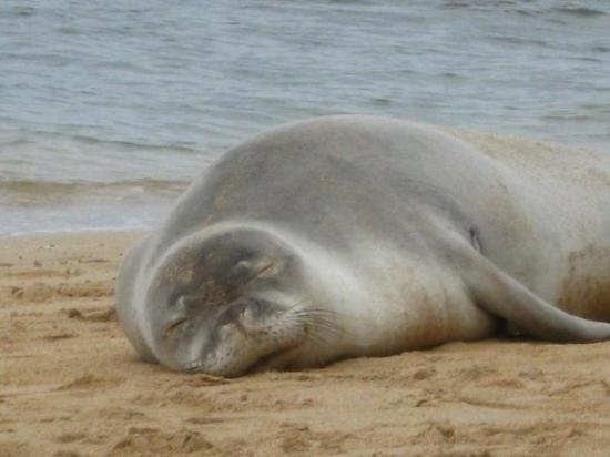 Lihue, HI: A sleeping Monk Seal,..cute, but don't touch!