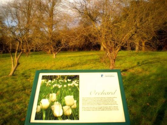 Nottingham, UK: apple orchard on university grounds made from cloned seedling