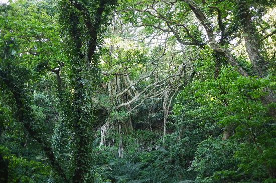 Valley of Gangala: ガジュマルの森