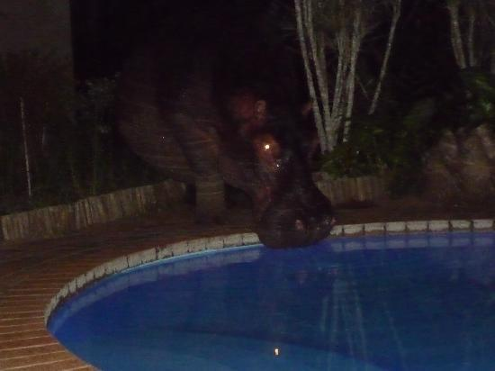 Kingfisher Lodge: Hippo at the Pool!