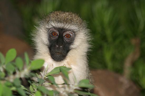 Amboseli Sopa Lodge: petit singe du jardin