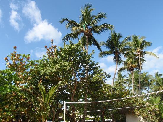 Grand Bahia Principe El Portillo: cocotier