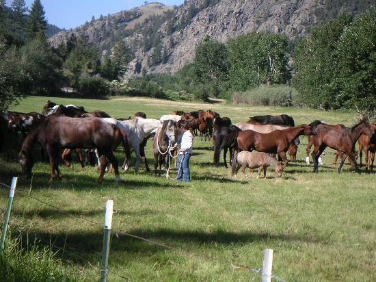 Rocking Z Guest Ranch: catching horses in the morning