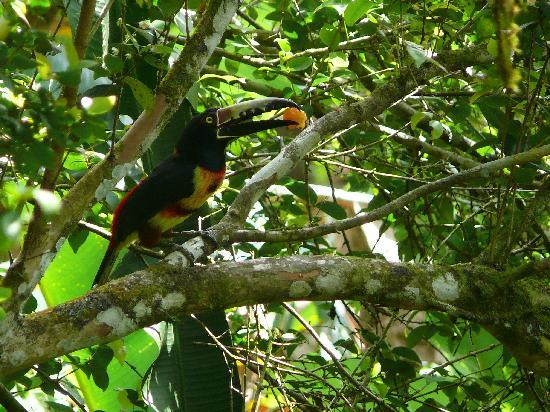 Maya Mountain Lodge: Toucan (Collard Aracri) from dinning area