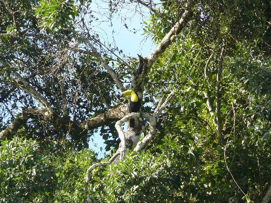 Maya Mountain Lodge: National bird Keel Billed Toucan