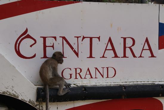 Centara Grand Beach Resort & Villas Krabi: Monkeys on hotel beach!