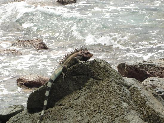 Gallows Point Resort: iguanas at beach