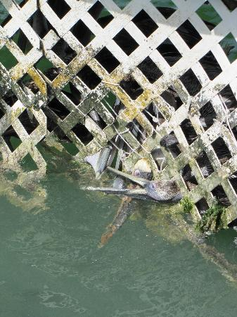Robbie's of Islamorada: Pelicans stuck in lattice area around tarpons