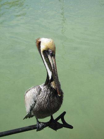 Robbie's of Islamorada: Beautiful pelican near dock
