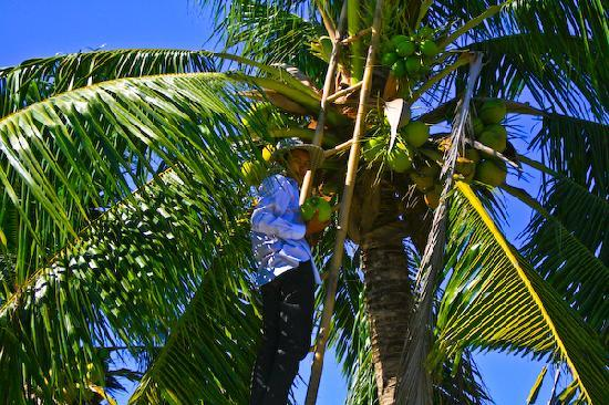 Absolute Explorer: Coconut cutting