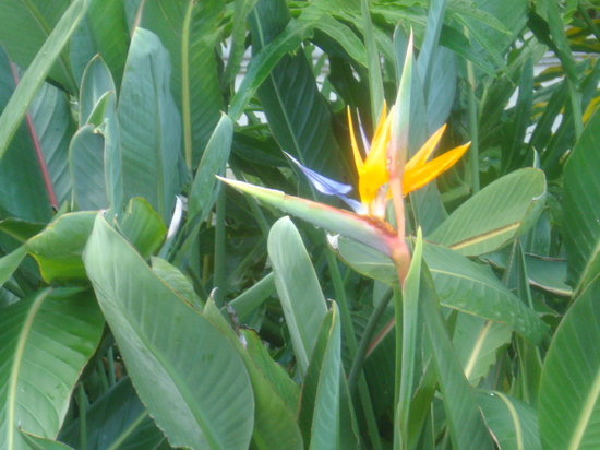 Napoli, FL: Bird of Paradise