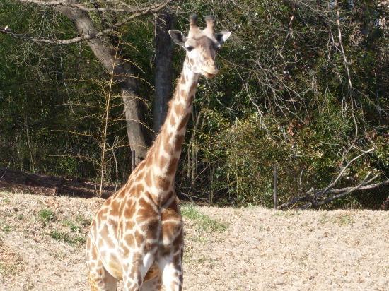 Greenville Zoo: Giraffe