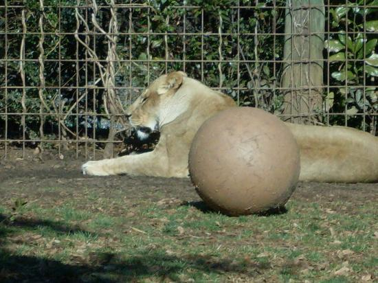 Greenville Zoo: lioness